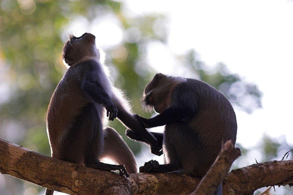 Vzácné modré opice