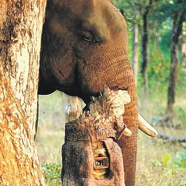 Hlavně nenápadně! Sloní špion se s kamerou maskovanou v kusu kmene plíží džunglí v honbě za co nejlepšími záběry.