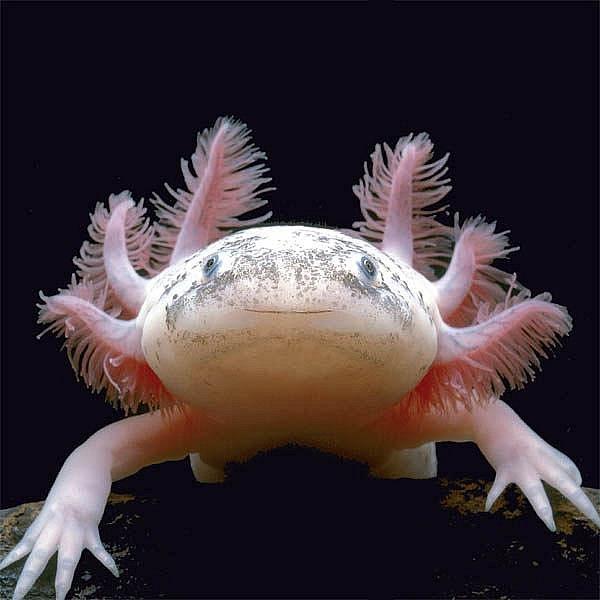 Vypadá jako UFO, ale je skutečný. Za svůj podivný zjev vděčí axolotl zejména vnějším žábrám.