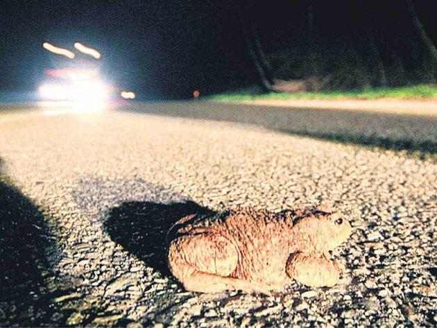 Automobily jsou smrtelným nebezpečím. Bez nadšenců by ropuchy téměř jistě zahynuly.