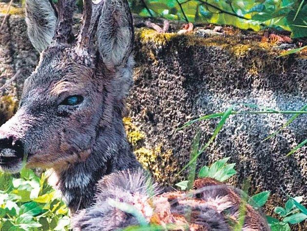 Uzdravený srnec přeskočil ohradu a zmizel v lese.