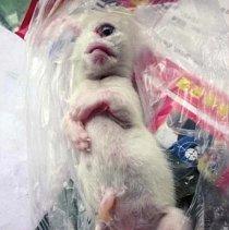Jednooké kotě, které zemřelo krátce po narození