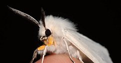 Pudlí můra. Podivný druh nočního motýla, který vypadá, jako kdyby byl trochu šmrnclí pudlem.