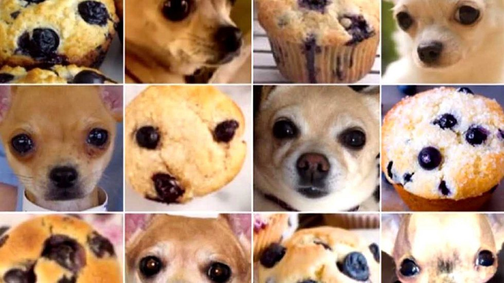 Čivavy vypadají jako borůvkové muffiny.