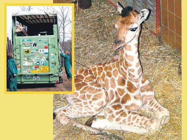Žirafka sama nastoupila do speciálního přívěsu, kde měla připraveno seno, větve, granule a vodu.