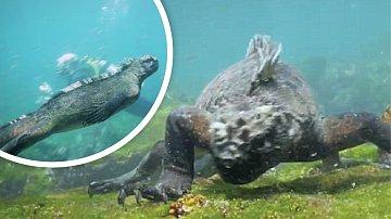 Leguán mořský není někdo, koho byste chtěli potkat při plavání, ačkoli maso nejí.