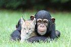 Šimpanz s rysem.