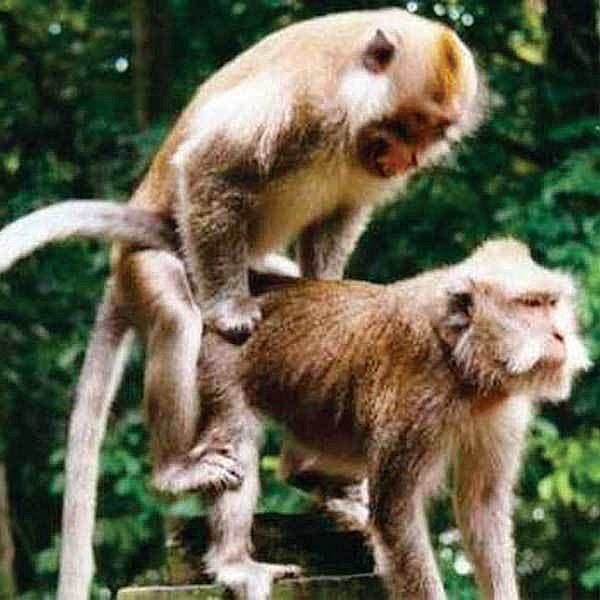 """Sex mezi opicemi. I tady se """"platí""""."""