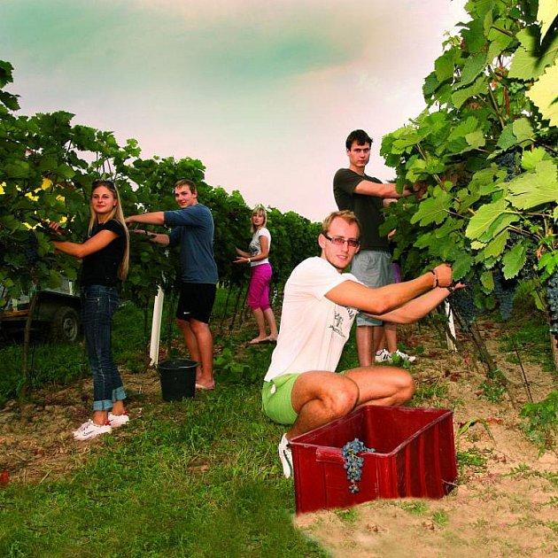 V době vinobraní se to na vinicích hemží brigádníky. Bobule je potřeba sebrat z keřů ve správný čas a tedy co nejrychleji