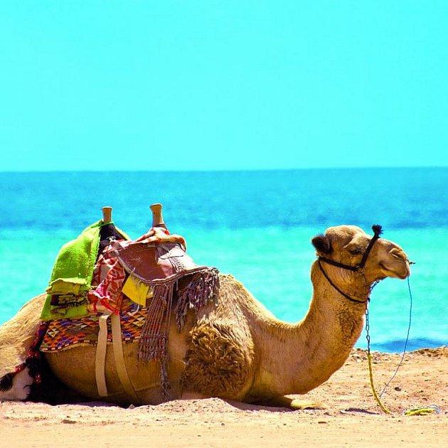 Velbloudi se stali ikonou egyptských pláží. S nabídkou svezení na tomto vtipném zvířeti vás místní prodejci zastaví několikrát během dovolené. Klidně si ale vystačíte i s úžasným podmořským světem Rudého moře.