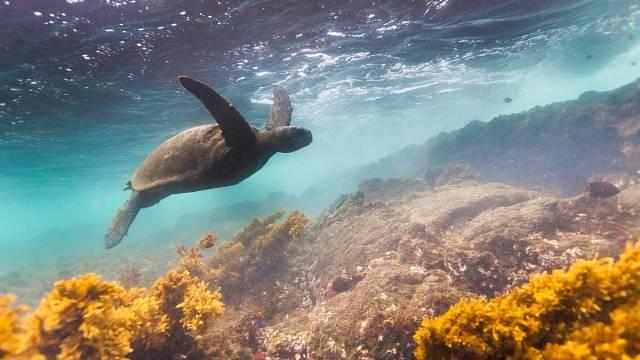 Obrovské želvy sloní jsou symbolem Galapág.