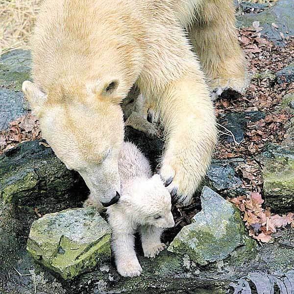 Máma Cora zachránila medvíděti život.