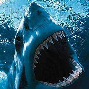 Žralok bílý - ilustrační foto