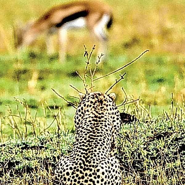 Gepardice číhá na kořist.