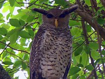 Zdá se, že ptáci mohou mít mladé jen a pouze se stejným druhem? Omyl. Toto je sova orlí, jediná svého druhu. Je to zkřížená sova s orlem.