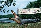Národní park Everglades je plný aligátorů...