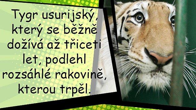 Osmany Laffita trpí kvůli ztrátě svého milovaného tygra.