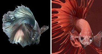 Fantastické fotografie akvarijních rybek.