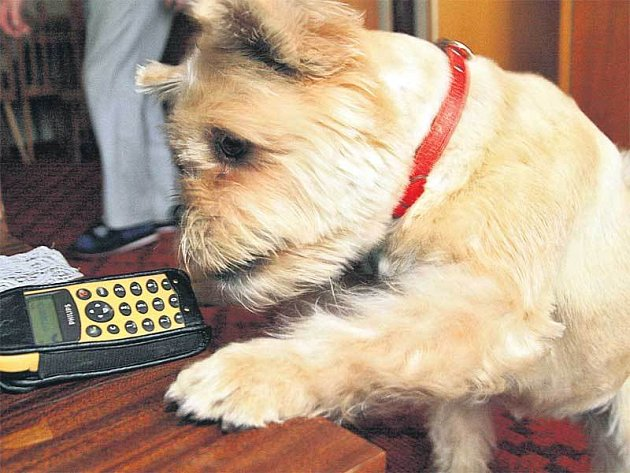 Přinést zvonící mobil zvládá s jistotou.
