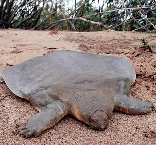 Želva, která vypadá, jako když nemá krunýř. Jde o podivného mutanta. Krunýř sice má, ale podivně zploštěný a celkově srostlý s kůží. Děsivé, že?
