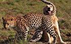 Leopard a pes