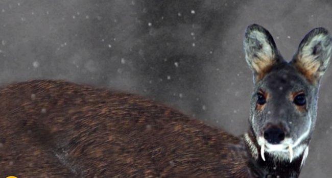 Koloušek, který má velmi vyvinuté tesáky a je masožravý.