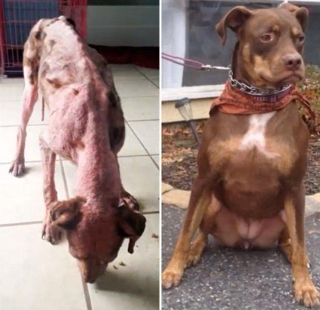 Lily, fenka pitbula, která trpěla několik dní v lese, než ji objevil náhodný kolemjdoucí a zavolal záchranáře. Tentýž pán ji později adoptoval.