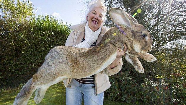 Největší králík na světě!
