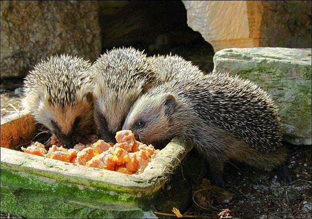 Nepříliš vykrmeného ježka si můžete vzít idomů.