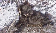 Vlk, který zmutoval v následku radioaktivity