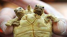 Želva s dvěma hlavami