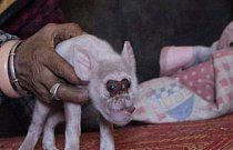 Mutant prasete a opice? Ne tak docela, prase vystavené radioaktivnímu záření poblíž Černobylu, které se narodilo s takto deformovanou hlavou a tělem.