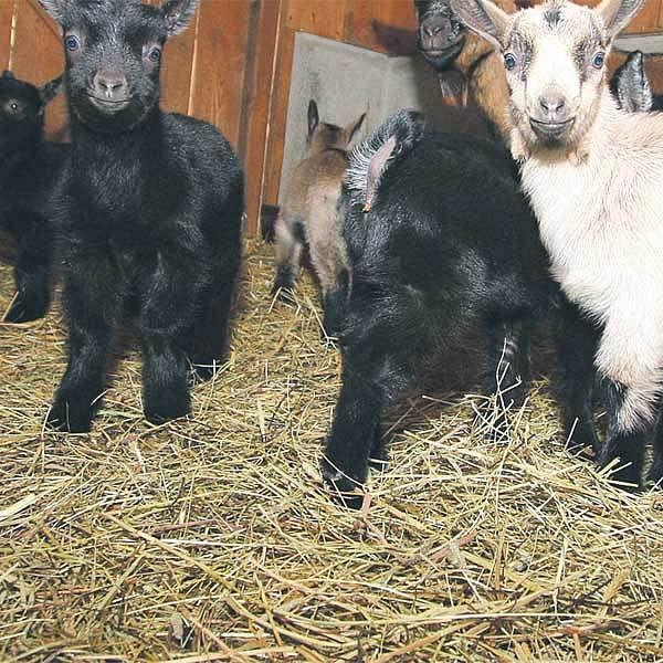 V pražské zoo se narodilo sedm mláďat kozy kašmírské. Kůzlata se mají čile k světu.