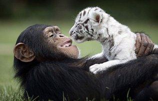 Šimpanzík a tygřík