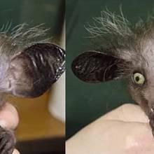 Aye aye je druh lemura, tento je ještě podivně zmutovaný a vypadá spíš jako něco mezi netopýrem a opičkou.