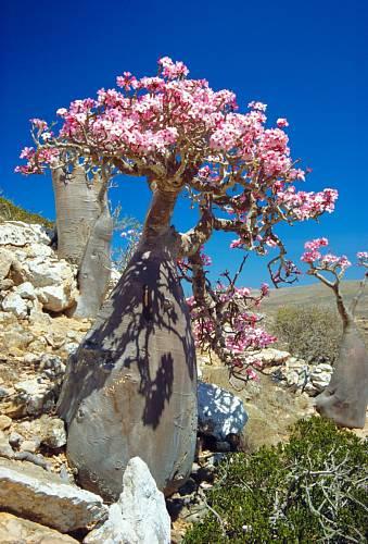 Strom pouštní růže, Jemen