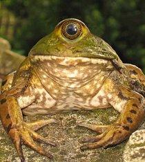 Žába, která měla jedno oko, říkali jí Kyklop