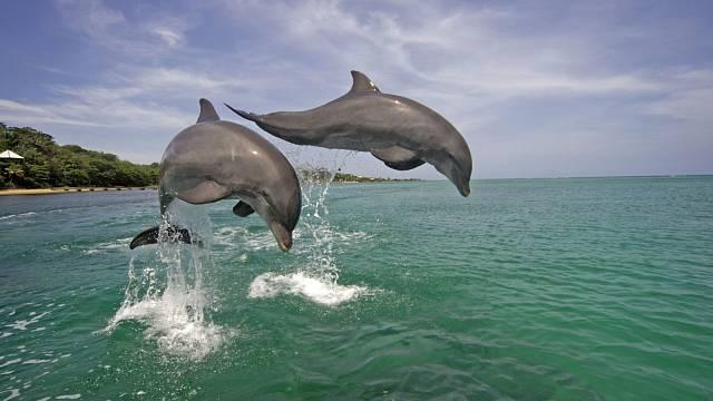 Koupání s delfíny? Na Roatánu běžná záležitost...