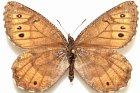Aljašský motýl