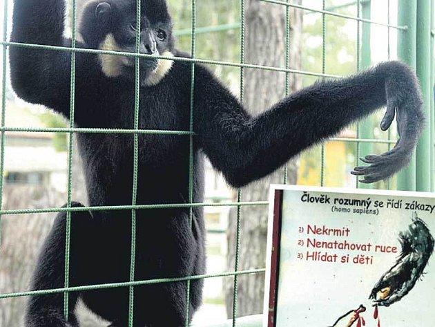 Opice vystrkuje ruku z klece. Kromě mříže ji ale od návštěvníků odděluje ještě zábradlí. Na nebezpečnost opic lidi upozorňuje i cedule.