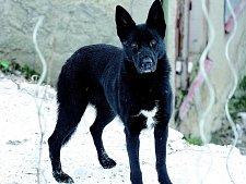 Čtyřletá fenka německého ovčáka Bea je věrný hlídač iochránce.
