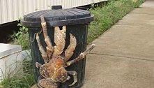 Krab kokosový, který dorůstá naprosto šokující velikosti.
