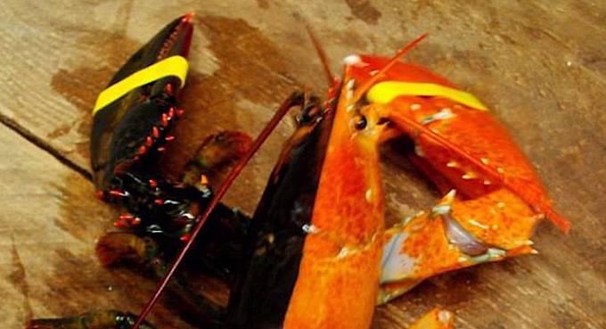 Dvoubarevný krab, kterému se říká halloweenský. Zajímavá mutace, že?