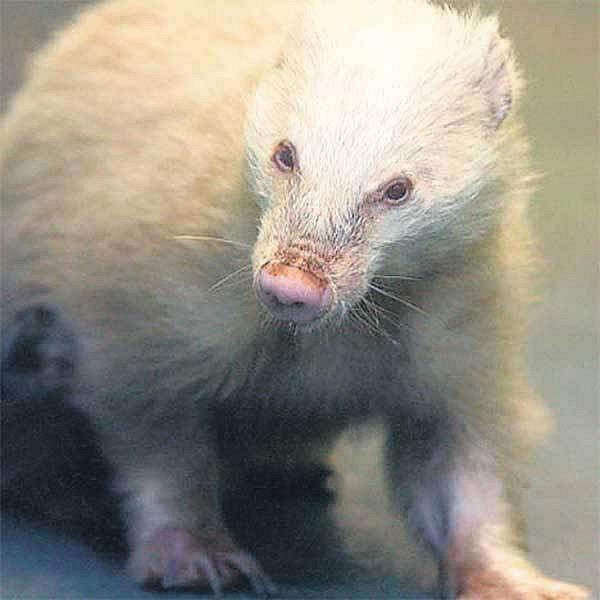 Jezevec albín