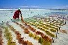 Místní ženy se živí sběrem mořských řas.