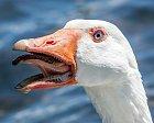 Takhle vypadají husí ústa. Nic jako z pohádek