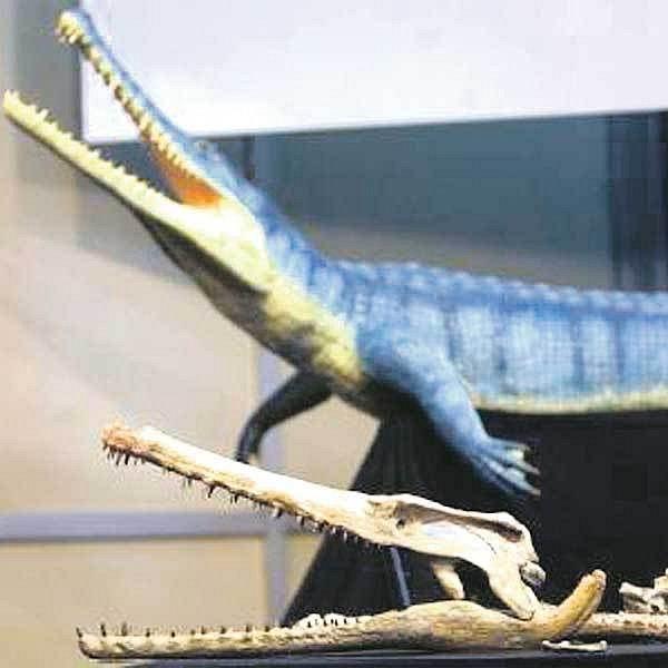 Čelist prehistorického krokodýla má délku 80 centimetrů.