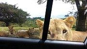 Lvice byla zvědavá, co je v autě.