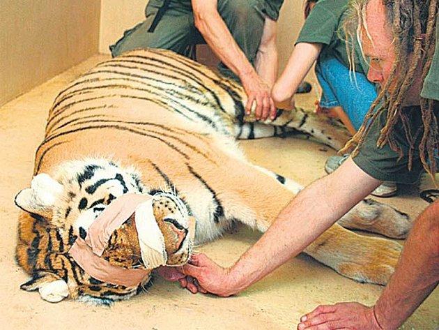 Uspat tygřici není jen tak.