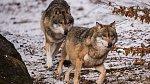 Vlci, Vlk